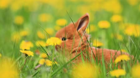 tame animal : little rabbit hiding among green grass and yellow dandelions Stock Footage