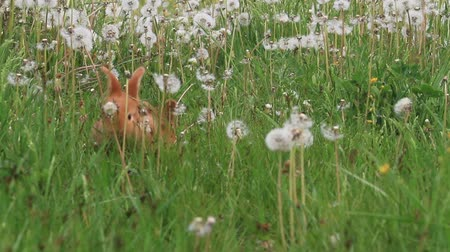 kürklü : rabbits run among dandelions