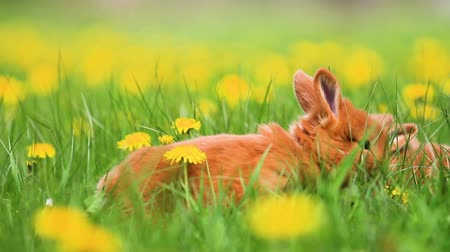 tame animal : Red rabbits gallop among yellow dandelions