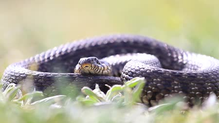 jaszczurka : snake lies in the grass and sticks out its tongue
