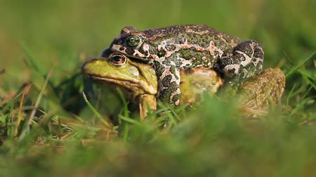 rouge : Two frogs of different species to mate