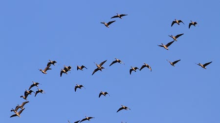 flock of geese : flock of geese fly in the blue sky Stock Footage
