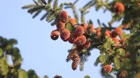 influenzy : bird eat up pine cones