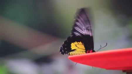 hdtv : beautiful butterfly sits on a saucer and flaps its wings