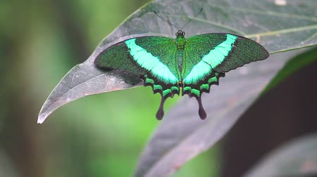 hdtv : butterfly with green wings sitting on a leaf