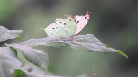 hdtv : white butterfly on a green leaf drinking dew