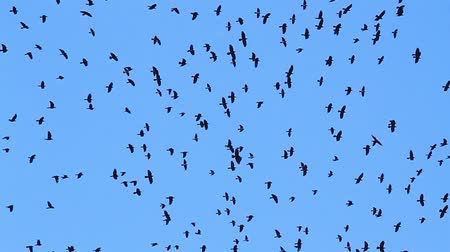 колония : hundreds of ravens fly in the blue sky Стоковые видеозаписи