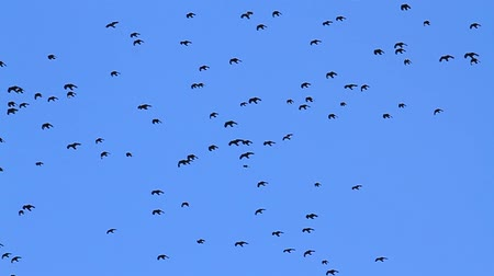 elválasztott : slow motion black birds flying across the blue sky Stock mozgókép