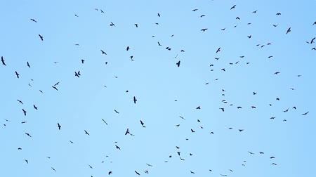 колония : thousands of black birds circling in the sky
