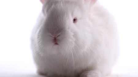 tame animal : white rabbit moves his nose on a white background Stock Footage