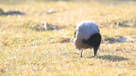 ищу : hooded crow at sunrise among spring grass