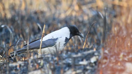 ищу : hooded crow is looking for dead animals in a burnt cane