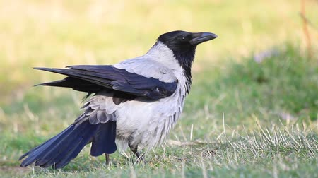birdie : hooded crow on a spring meadow croaks
