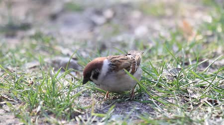 migalhas : sparrow in the grass is looking for a meal Stock Footage