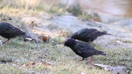 szpak : starlings after a long flight flies eating worms in the spring grass