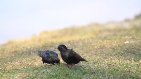 birdie : starlings by the lake are looking for food in the spring grass Stock Footage