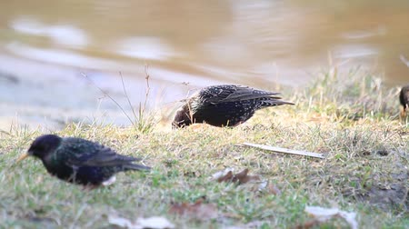 starling : starlings eat worms on the lake shore in the spring morning