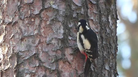 dendrocopos major : woodpecker hammering the bark and climbing up the tree