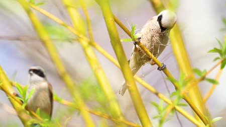 migrants : bird (Eurasian penduline tit) collects material for the nest Stock Footage