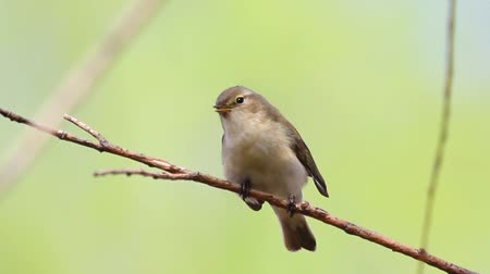 common : Chiffchaff singing on the branch and flies