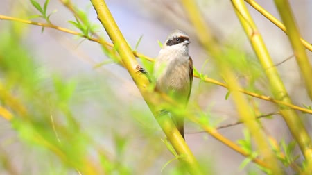migrants : Eurasian penduline tit among spring greens on a tree