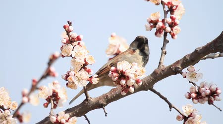 young sparrow : sparrow sits among the flowers of blossoming apricot against the sky