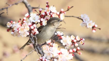 young sparrow : sparrow sits among the flowers of blossoming apricot Stock Footage