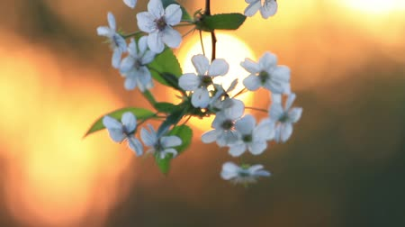 ramoscello : cherry blossoms against a background of the rising sun Filmati Stock
