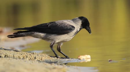 starling : crow on the lake eats cheese Stock Footage