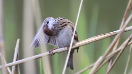 birdie : sparrow cleans feathers on the wing