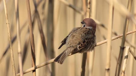 birdie : sparrow cleans the feathers on the wing sitting on reed