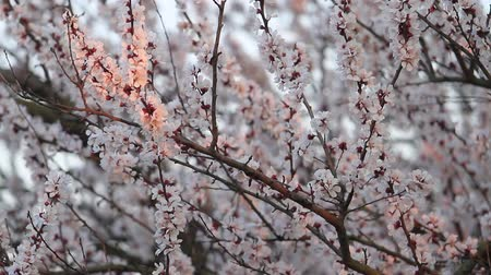 meruňka : apricot flowers in the first rays of the sun