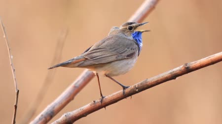 ave canora : beautiful spring bird sings a song sitting on a branch Vídeos