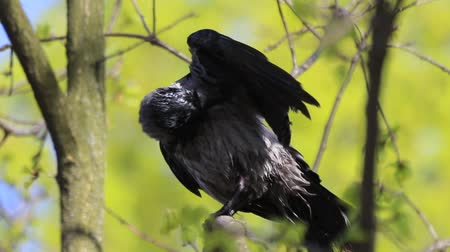 crow sits on a tree cleans feathers after bathing