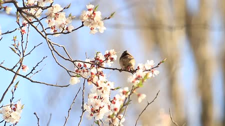 mt : sparrow on a branch with cherry flowers