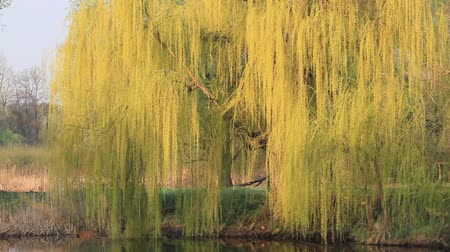 weeping willow stands over the water bowing bright branches