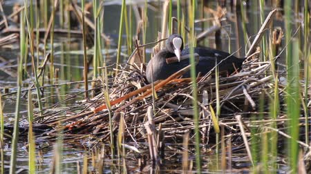 coot repairing nest sitting on eggs