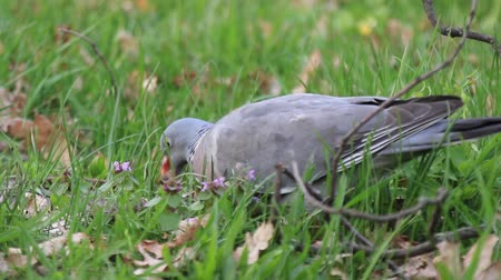 palombe : wood pigeon looking for walking through a forest glade