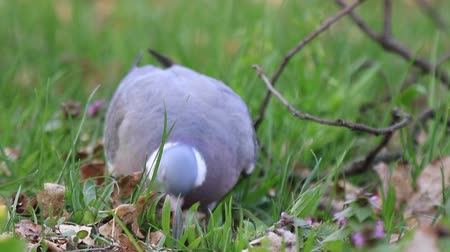 wood pigeon seeks food in the grass