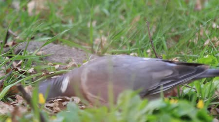 common : wood pigeons feed on the spring forest glade