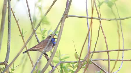 saturado : Bluethroat singing song spring sitting in the bush