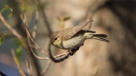 water hole : common chiffchaff sits on a branch and then jumps off