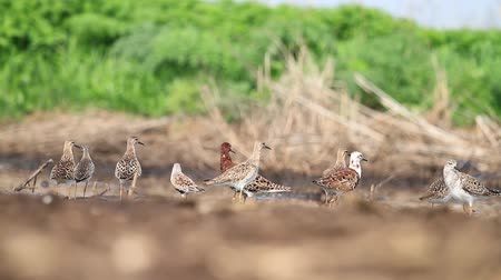 bird guide : flock of sandpiper resting after a flight on a sunny day Stock Footage
