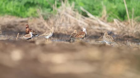 arctic tundra : flock of sandpiper rests after the flight in the spring afternoon Stock Footage