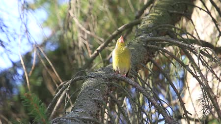 besleyici : greenfinch sings sitting on a spruce branch Stok Video