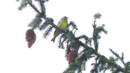 besleyici : Greenfinch sitting on a spruce branch with cones