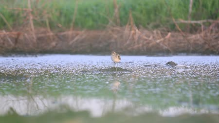 arctic tundra : lonely sandpiper in the morning swamp