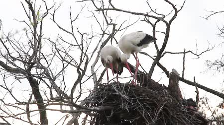 wildlife photography : pair of storks are repairing last years nest