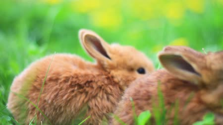 kürklü : red rabbits eat grass in the thickets of dandelions Stok Video