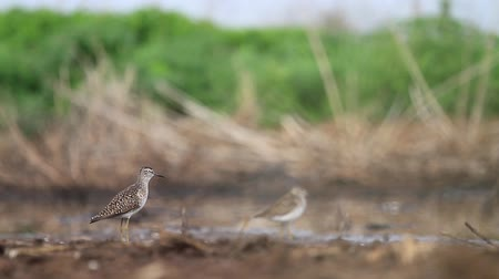 bird guide : sandpiper gives voice standing in the swamp Stock Footage